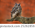 Eurasian Eagle Owl, Bubo Bubo, sitting 25262856
