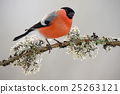 Bullfinch, Pyrrhula pyrrhula, sitting on yellow 25263121