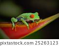 Exotic animal, red-eyed Tree Frog 25263123
