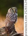 Great grey owl, Strix nebulosa, sitting on trunk 25263124