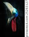 Southern cassowary, Casuarius casuarius 25263127