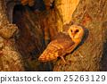 wildlife owl animal 25263129