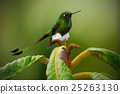 Booted Racket-tail, Ocreatus underwoodii 25263130