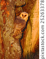 Barn owl sitting on tree trunk at the evening 25263378