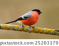 Bullfinch, Pyrrhula pyrrhula, sitting on lichen 25263379