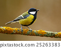 Great Tit, Parus major, black and yellow songbird 25263383