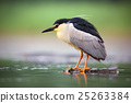 Night heron, Nycticorax nycticorax, grey bird 25263384