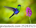 hummingbird, flower, bird 25263523