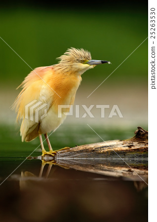 Squacco Heron, Ardeola ralloides, yellow water 25263530