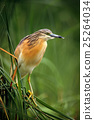 Squacco Heron, Ardeola ralloides, yellow water 25264034