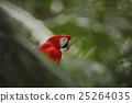 Parrot Scarlet Macaw Ara macao in dark green 25264035
