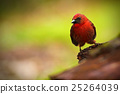 Red-throated Ant-Tanager, Habia fuscicauda 25264039