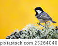 Coal Tit, songbird sitting on beautiful lichen 25264040
