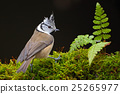 Crested Tit, sitting songbird on beautiful 25265977