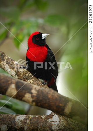 Crimson-collared Tanager 25265978