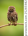 Little Owl, Athene noctua, bird in nature habitat 25265982