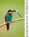 dragonfly bird bee-eater 25266101