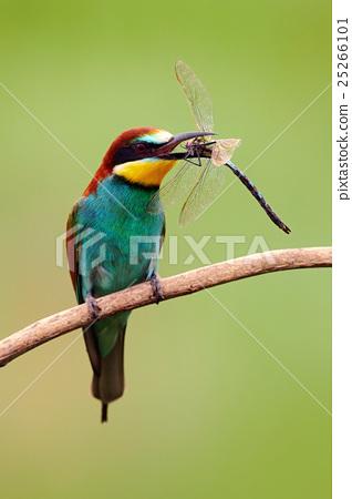 European Bee-eater, Merops apiaster 25266101