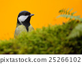 Detail portrait of bird, Great Tit, Parus major 25266102