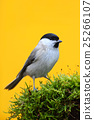 Marsh Tit, Parus palustris,  songbird sitting 25266107