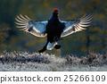Flying bird. Black Grouse, Tetrao tetrix, lekking 25266109