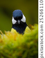 Detail head portrait of bird, Great Tit 25266110