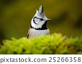 Detail hidden portrait of bird, Crested Tit 25266358