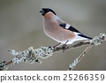 Bullfinch, Pyrrhula pyrrhula, sitting on yellow 25266359