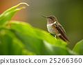 Volcano Hummingbird, Selasphorus flammula 25266360