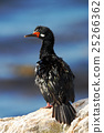Rock Shag, Phalacrocorax magellanicus, black 25266362