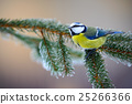 Blue Tit, cute blue and yellow songbird in winter 25266366