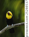 Toucan, Big beak bird Chesnut-mandibled sitting 25266537