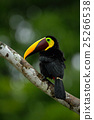 Toucan big beak bird Chesnut-mandibled 25266538
