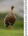 Goose walking in the green grass. Kelp goose 25266764