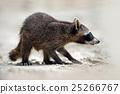 Raccoon, Procyon lotor, walking on white sand 25266767