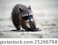 Raccoon, Procyon lotor, walking on white sand 25266768