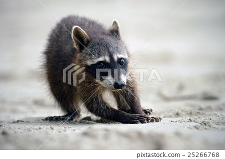 Raccoon, Procyon lotor, walking on white sand 25266768