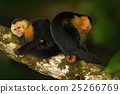 Black monkey sitting on the tree branch in tropic 25266769