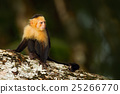 Black monkey sitting on the tree branch in tropic 25266770