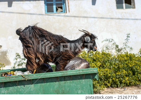 A black he-goat on top a bin 25267776