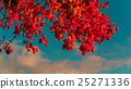 bright red maple leaves 25271336