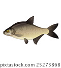 Bream, Isolated Illustration 25273868