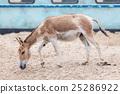 Persian onager (Equus hemionus onager) 25286922