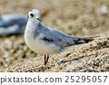 Seagull on the beach 25295057