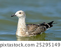 Pretty common gull 25295149