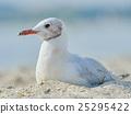 Seagull on the beach 25295422