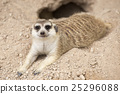 Meerkat sleep on the ground 25296088