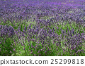 lavender, field, summer 25299818