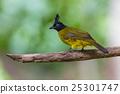 Beautiful bird Black-crested Bulbul 25301747