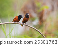 Chestnut Munia perching on a branch 25301763